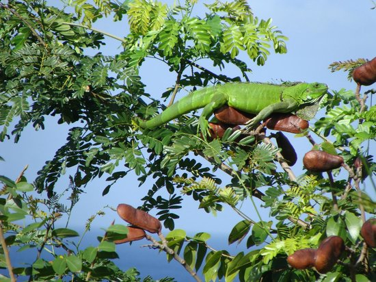 Mango Bay Cottages: the morning of the Iguana