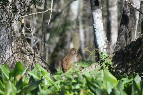 Silver Springs River : A resident Rhesus Monkey