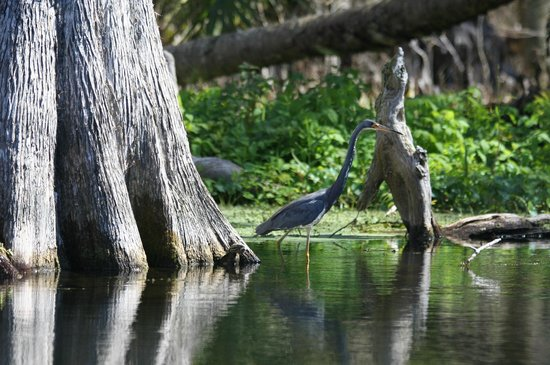 Silver Springs River : A wading bird near the Cyprus