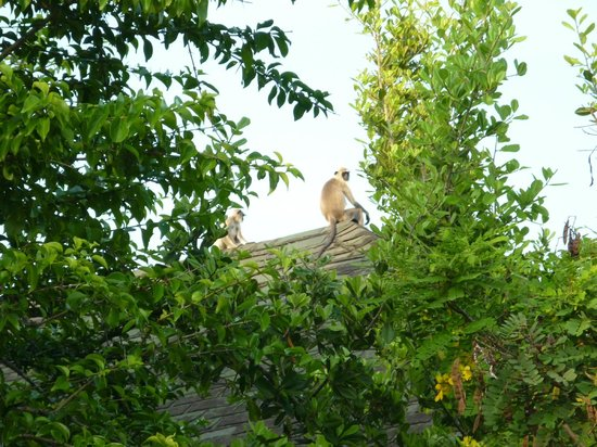 Cinnamon Wild Yala: monkeys on our roof!