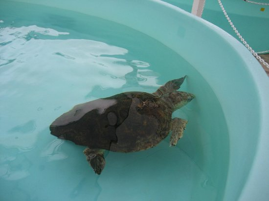 Loggerhead Marinelife Center: Green turtle