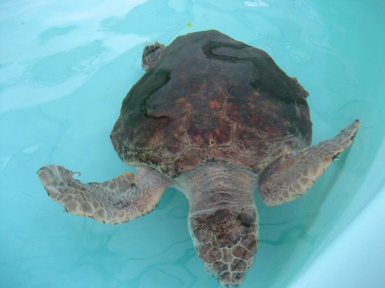 Loggerhead Marinelife Center: Turtle