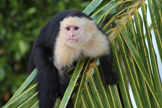 Fantasy Island Beach Resort: island monkey