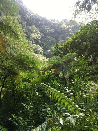 Dominica Botanic Gardens: La foresta della Dominica è orgiastica di verde, di essenze d'ogni tipo!