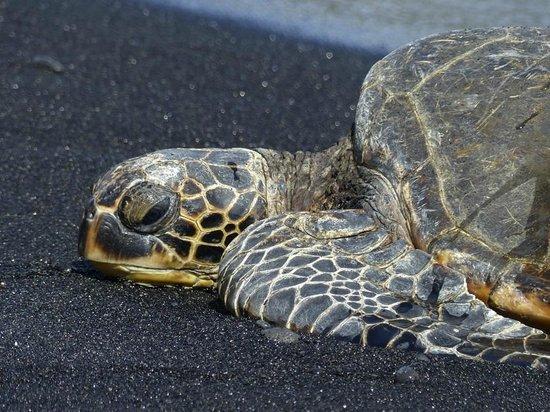 Punaluu Black Sand Beach: Green-sea turtle