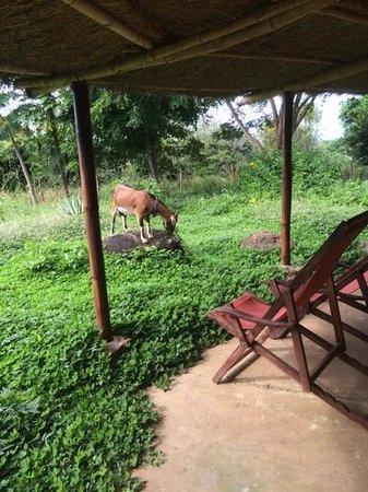 Hotel Finca del Sol: friendly goat on the property