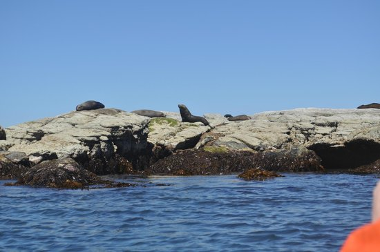 Kaikoura Kayaks: NZ Fur Seals