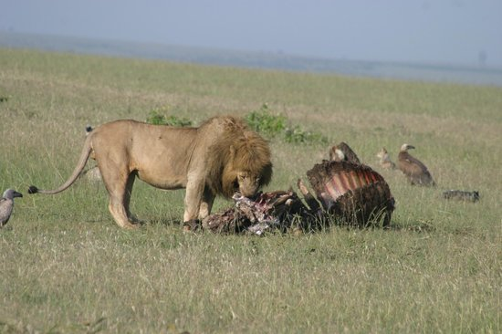 Cactus Day Tours and Safaris: king of the jungle feasting while vultures wait