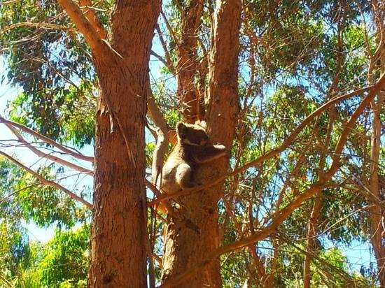 Hanson Bay Wildlife Sanctuary: piccolo koala