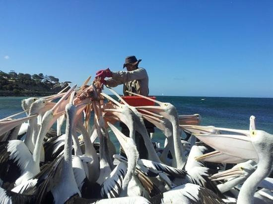 Pelican Feeding: il pasto
