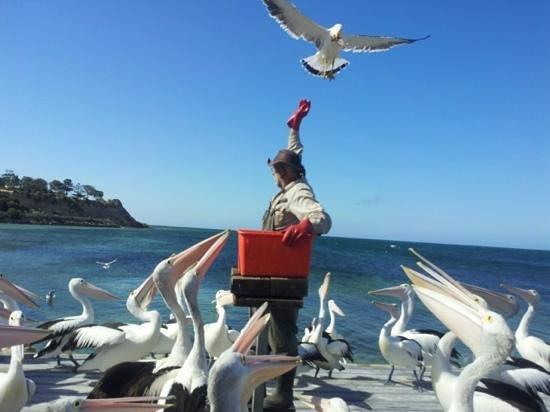 Pelican Feeding: pasto dei pellicani