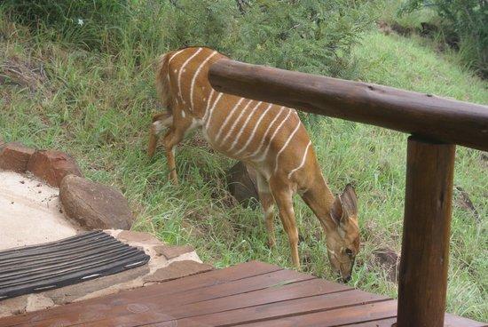 Leopard Mountain Safari Lodge: wake up to see Nyala grazing