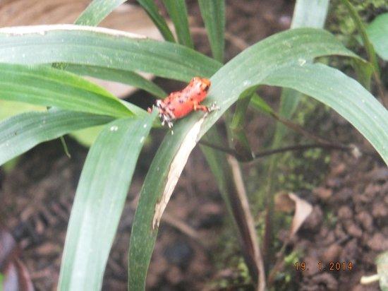 Bastimentos National Park: Little red frog