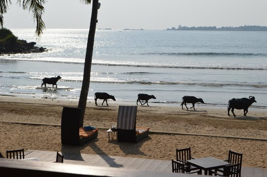 CoCo Bay Unawatuna: Water buffaloes going home for milking, evening shot from our balcony.