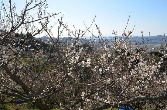 Minabe Bairin: 白い梅の花は青い空に似合います。見上げてどうぞ。