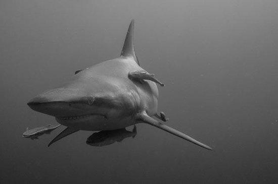 Aliwal Dive Lodge: Baited shark dive