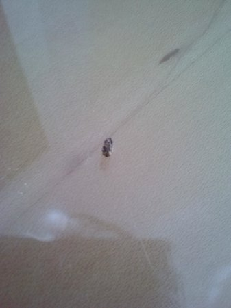 Loews Miami Beach Hotel: This is the dead louse that was in my bed on arrival!
