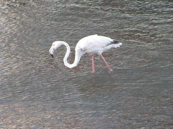 Walvis Bay Waterfront: Flamingo at work