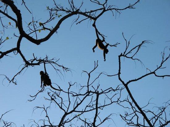 Pacific Bay Resort: Howler Monkeys