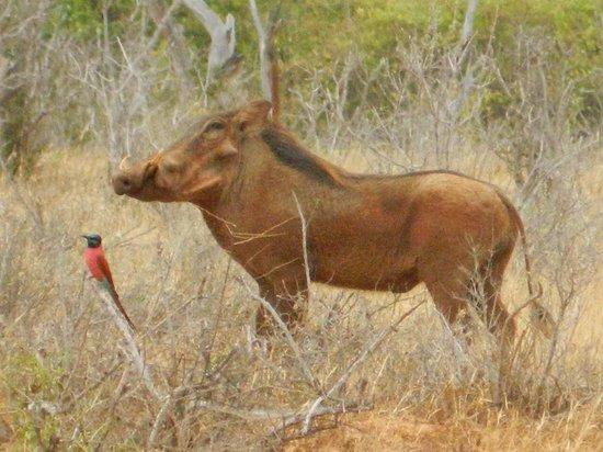 Juma Safari Kenya: Fagocero