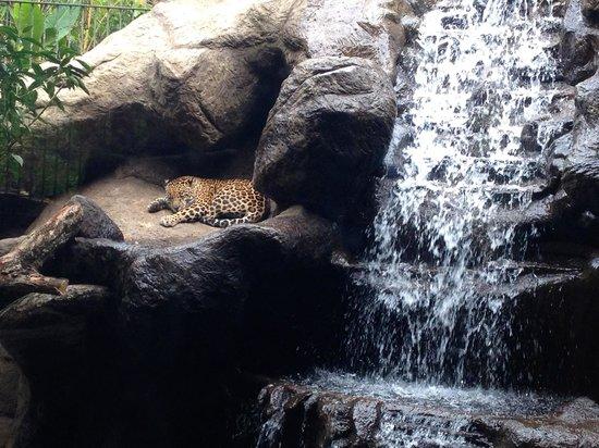 La Paz Waterfall Gardens: Jaguar