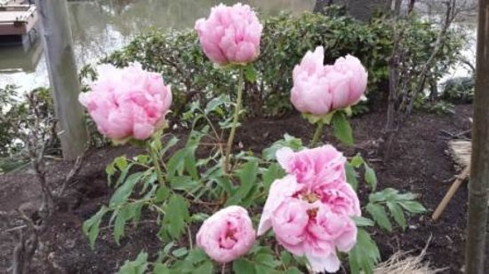Tsurugaoka Hachimangu Shrine: Pale Pink Winter Peonies