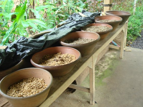Satria Agrowisata: different stages of the civet coffee beans