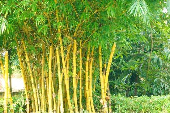 Ginger Hotel Guwahati: Golden Bamboo growth
