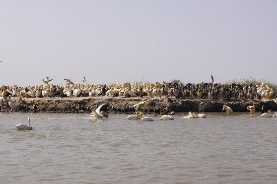 Djoudj National Bird Sanctuary: Młode pelikany