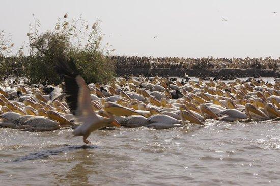 Djoudj National Bird Sanctuary: Pelikany