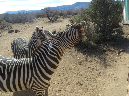 Out of Africa Wildlife Park: cool zebras