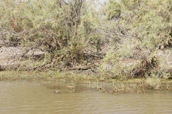 Djoudj National Bird Sanctuary: Krokodyl