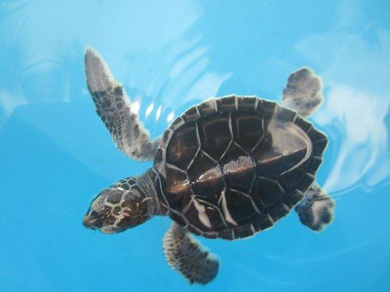 Sea Turtle Hatchery: saving the endangered Green Turtles