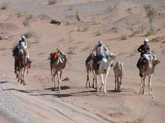 See Jordan Tours - Camel Ride in Wadi Rum: camels