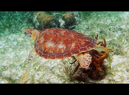 Sea Sports Belize : Turtle - Hol Chan Marine Reserve, Belize