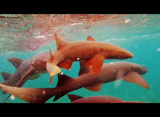 Sea Sports Belize : Nurse Sharks - Shark Ray Alley, Belize
