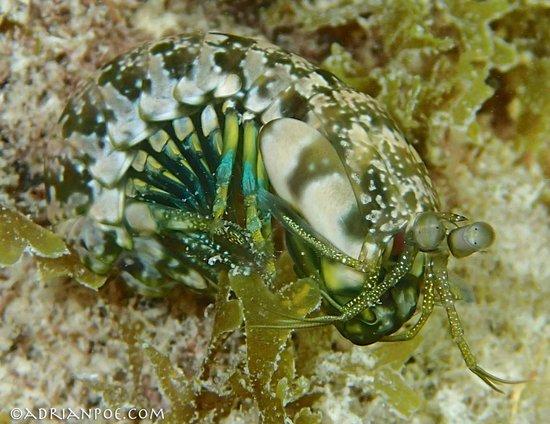 Maho Bay: Cool mantis