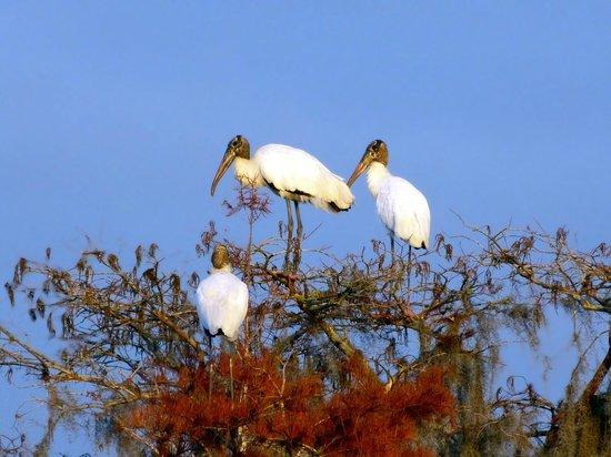 Inn at Folkston: Woodstork im Okefenokee Swamp