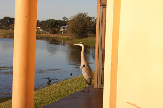 Inn On The Lakes: Great Blue Heron who hangs out out back