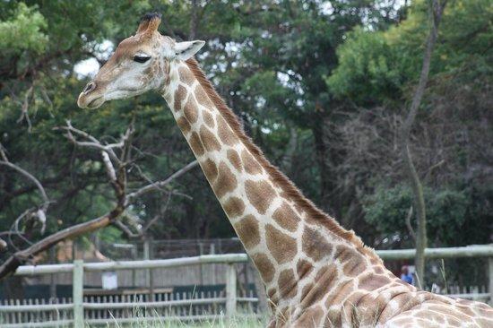 Lion and Safari Park: Giraffe resting