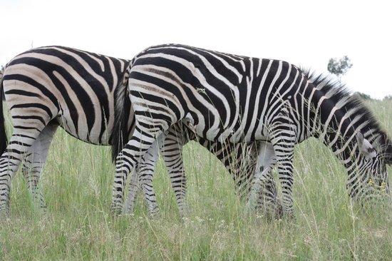 Lion and Safari Park: Zebra