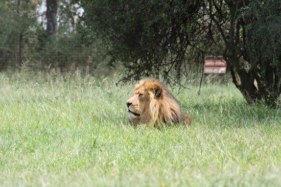 Lion and Safari Park: Lion