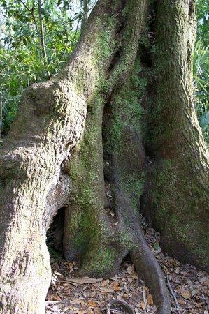 Highlands Hammock State Park: Huge trees!
