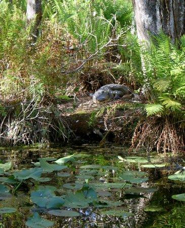 Highlands Hammock State Park: Alligator on the bank