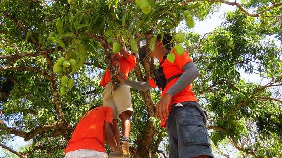 Pura Aventura: How many Ticos does it take to pick mangoes? :)