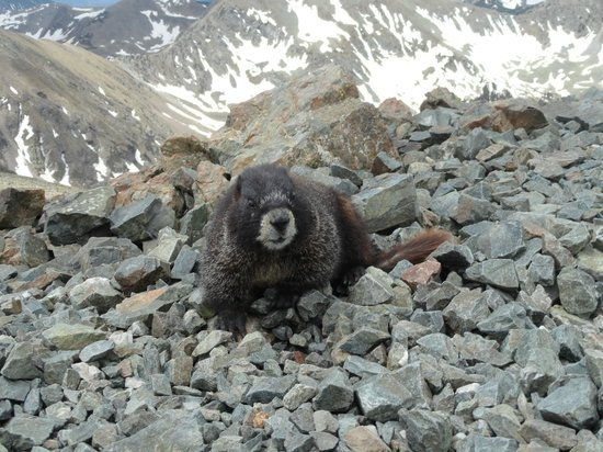 Wheeler Peak Wilderness Area: Marmot atop the peak