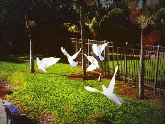 Maui Ocean Breezes: The doves were frequent visitors in the backyard