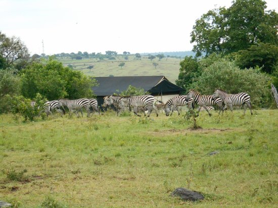 Mara West Camp : Zebras on grounds