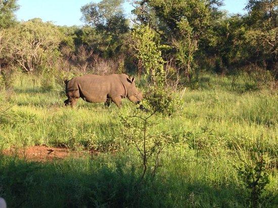 Makalali Private Game Lodge : Game drive rhino