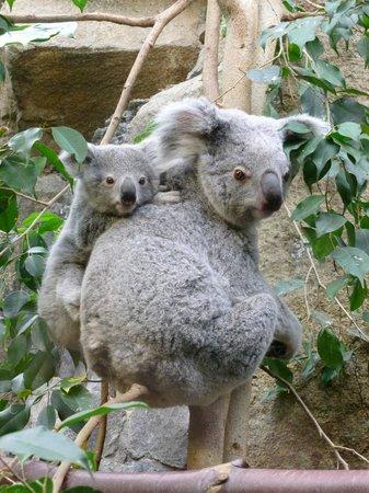 Edinburgh Zoo: mum and baby Joey